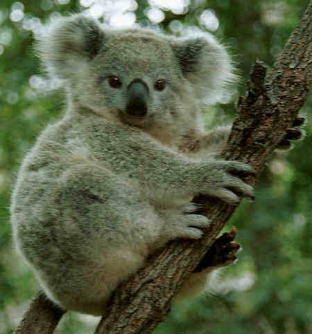Quiero ver... - Página 4 Koala450j