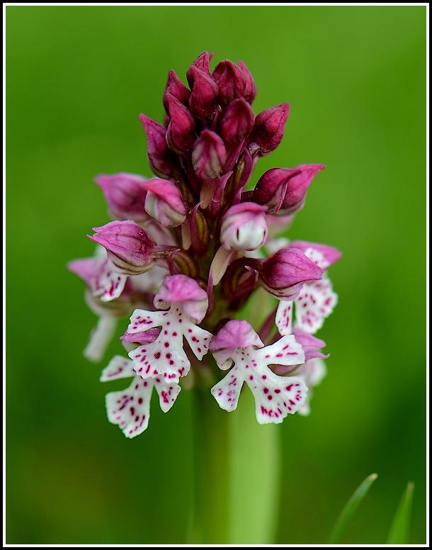 Neotinea conica x ustulata (Neotinea x bugarachensis) 04262013perpignanmartigues419