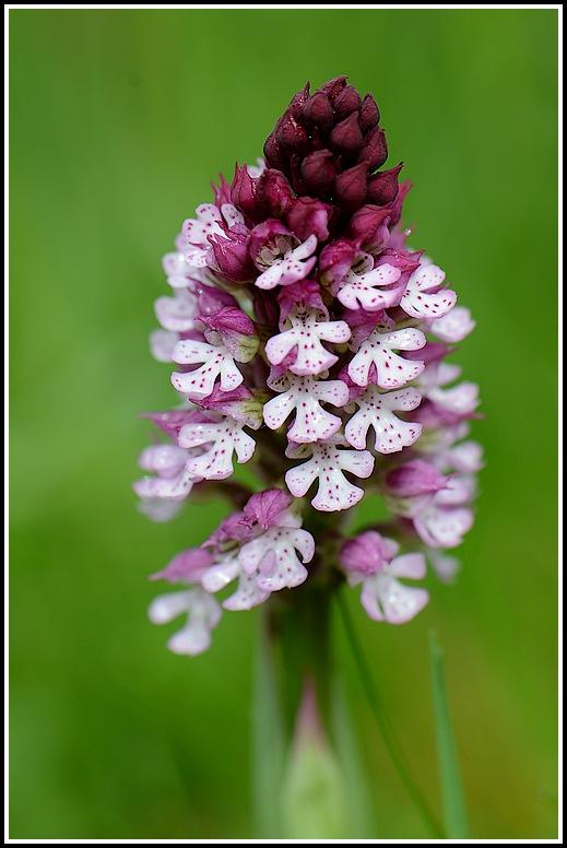 Neotinea conica x ustulata (Neotinea x bugarachensis) 04262013perpignanmartigues442