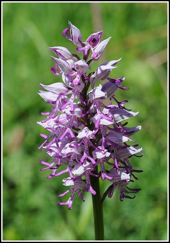 orchis militaris × simia (Orchis x beyrichii ) 04292012apremontchanazcheveluthuile378