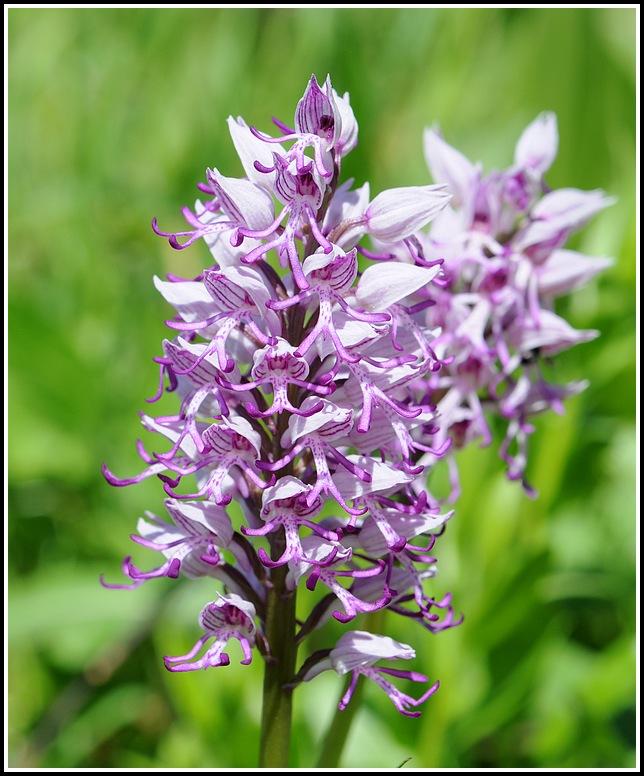 orchis militaris × simia (Orchis x beyrichii ) 04292012apremontchanazcheveluthuile382