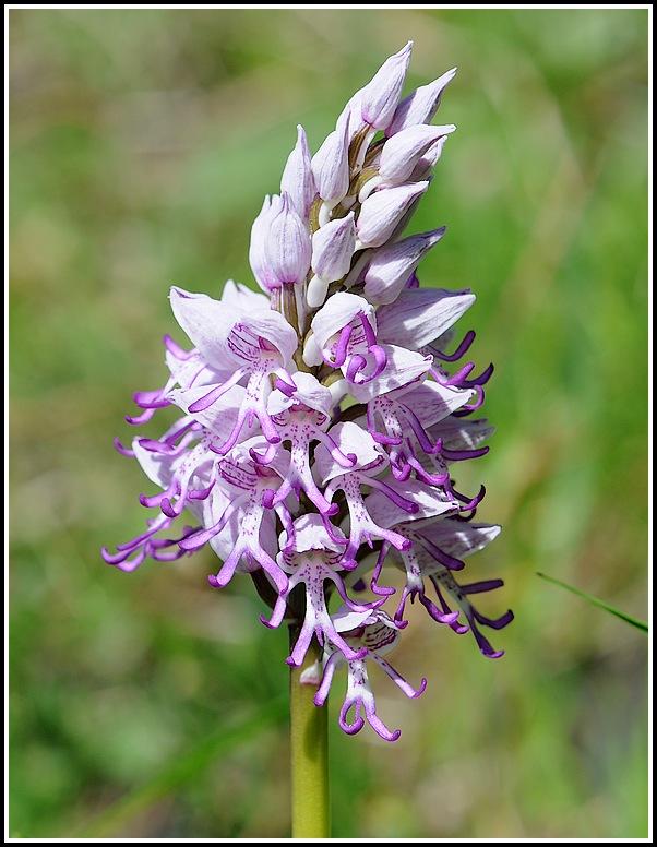 orchis militaris × simia (Orchis x beyrichii ) 04292012apremontchanazcheveluthuile385_1