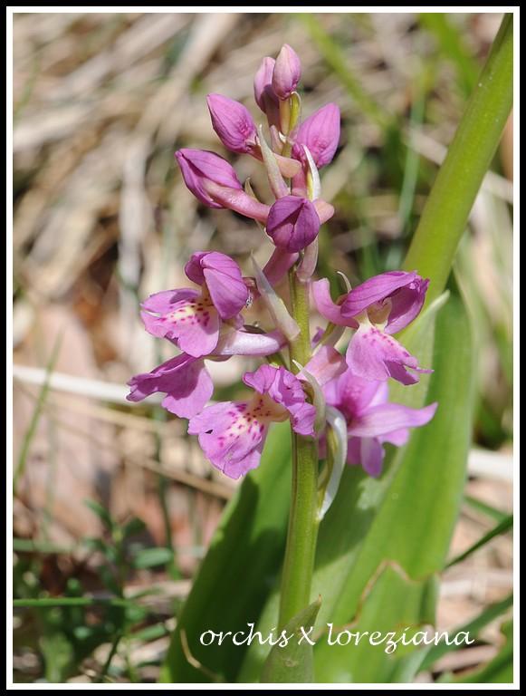Orchis mascula x pallens (Orchis x loreziana BRÜGGER 1880) 05022012verel040_1
