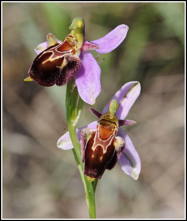 ophrys apifera X fuciflora subsp souchei 06152012cairanneapiferaxsoucheii13