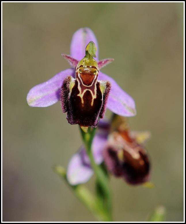 ophrys apifera X fuciflora subsp souchei 06152012cairanneapiferaxsoucheii8