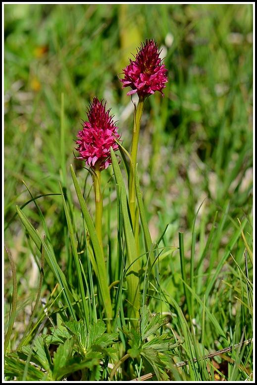 Gymnadenia conopsea × Gymnadenia rhellicani Bellecombe005