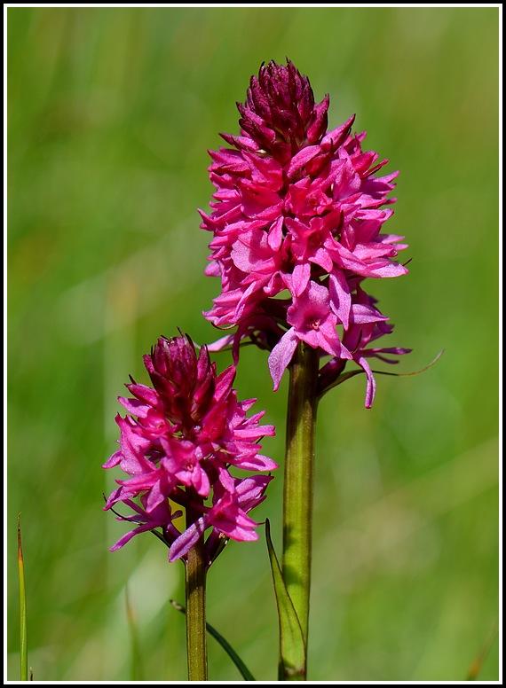 Gymnadenia conopsea × Gymnadenia rhellicani Bellecombeiseran249