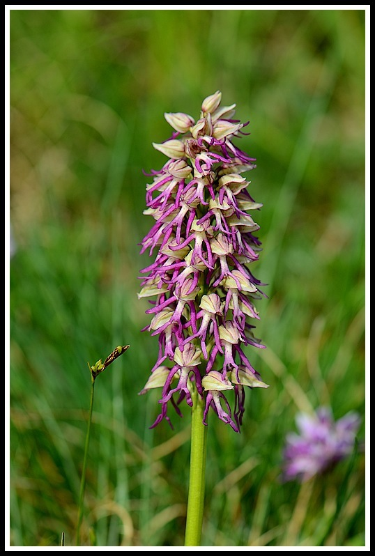 orchis anthropophora X simia (  orchis x  bergonii) Chevelu123_1