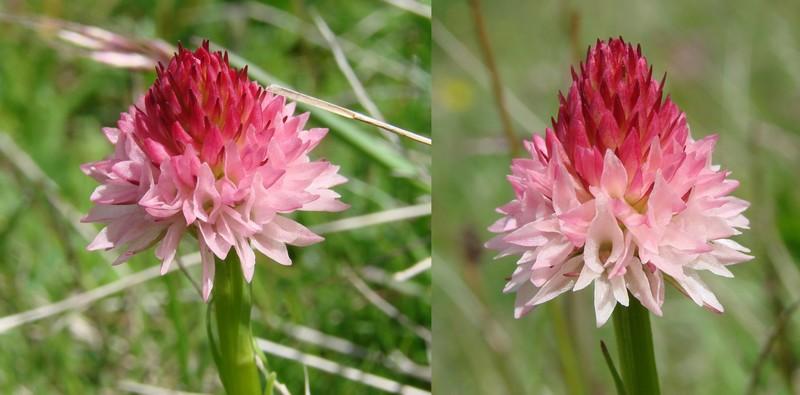 Gymnadenia ( Nigritella ) corneliana ( N.de Cornelia ) Dsc01211