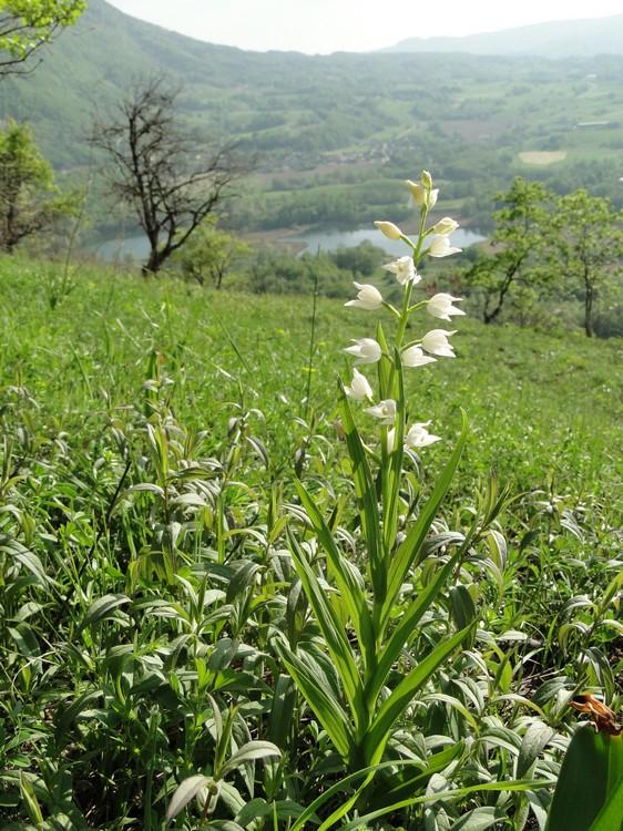 Cephalanthera longifolia(Céphalanthère à longues feuilles) Dsc03033