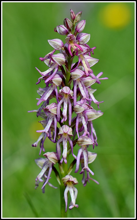 Orchis anthropophora x militaris (x Orchis spuria) Mauriennechapelleblanche159