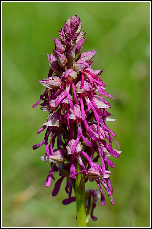 Orchis anthropophora x militaris (x Orchis spuria) Mauriennechapelleblanche219