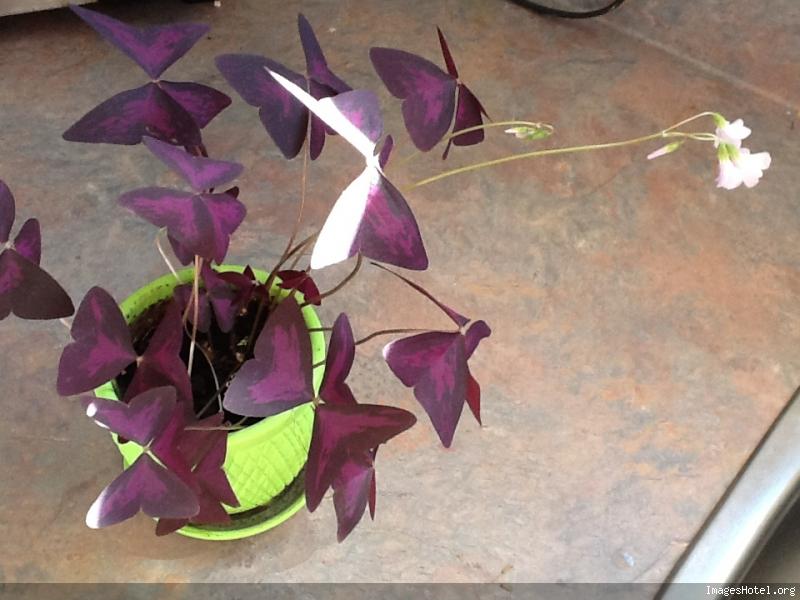 Plante parapluie Shadowgirl218iphone
