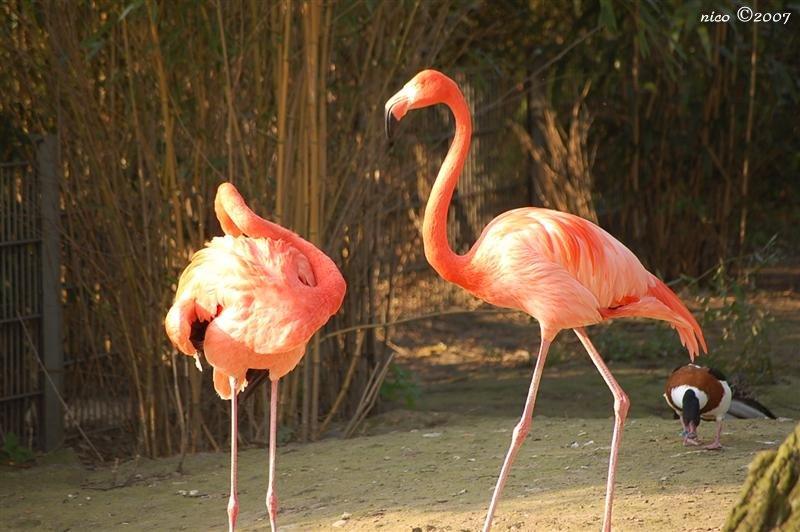 Nicove fotografije Flamingos