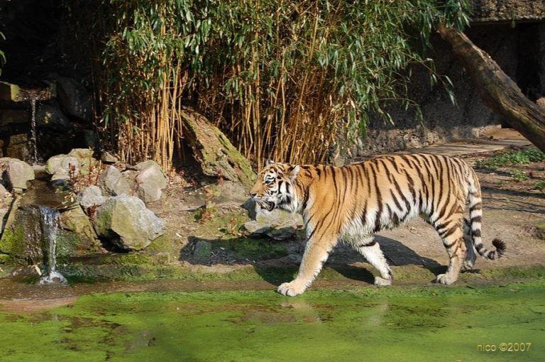 Nicove fotografije Tigar