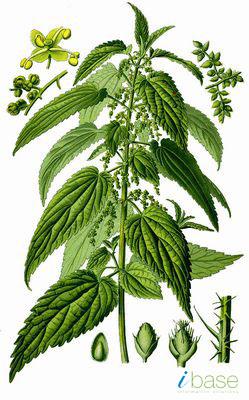 Samoniklo jestivo bilje Urtica%20dioica