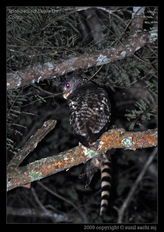 Strigformes: Famíla Strigidae- sub fam. Buteonidae. Género Ketupa (por vezes incluído em Bubo) 13223690144d4110fb86939