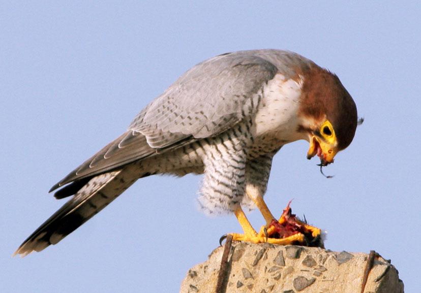 Falconiformes. sub Falconidae - sub fam Falconinae - gênero Falco 1888979955473bb90ea54e1