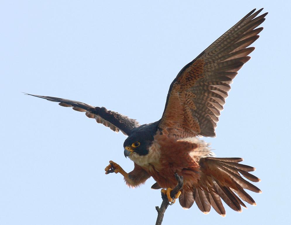 Falconiformes. sub Falconidae - sub fam Falconinae - gênero Falco - Página 3 21344132744d045c7b3a42f