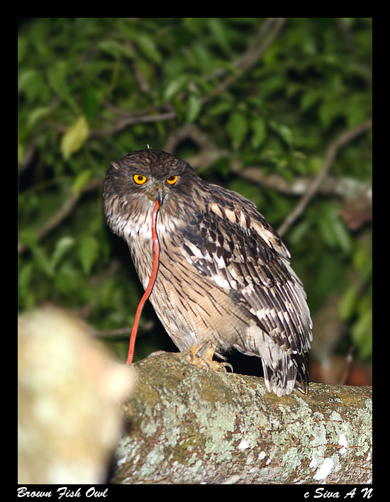 Strigformes: Famíla Strigidae- sub fam. Buteonidae. Género Ketupa (por vezes incluído em Bubo) 86403088647045eac78eb4