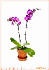 ORQUIDEAS Phalaenopsis_ico