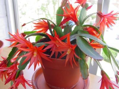Cactus de Pascua, Cactus de Navidad, Pluma Sta Teresa y similares..... Normal_DSC06252