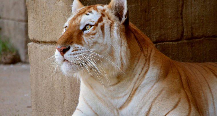 Los tigres dorados Tigre-dorado