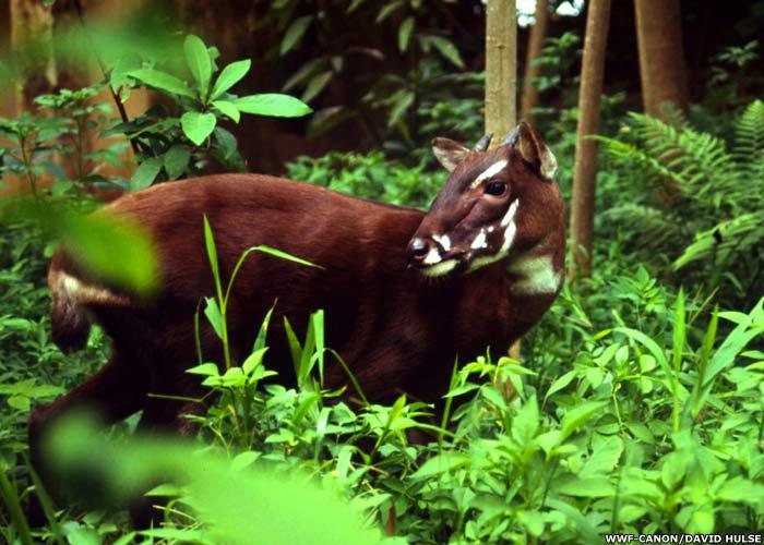 un animal -Ajonc - le 28 septembre trouvé par Suri Saola-vietnam