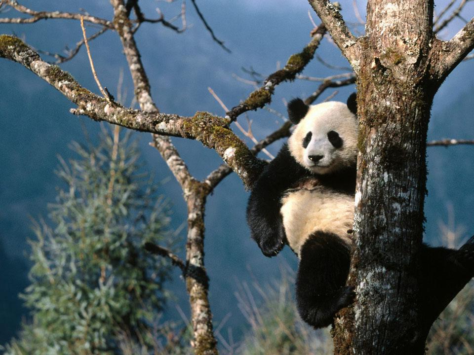 Narodna Republika Kina - Page 3 Chengdu-panda