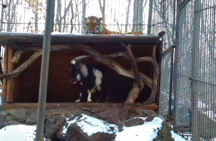 Приморский сафари - парк. Как тигр подружился с козлом.  Amur701
