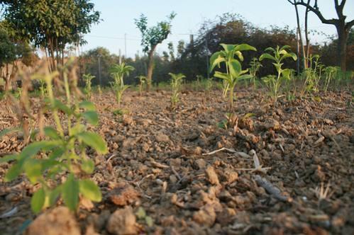 """La """"Stevia rebaudiana bertoni"""" (hierba dulce) prospera. 101606-20120925"""