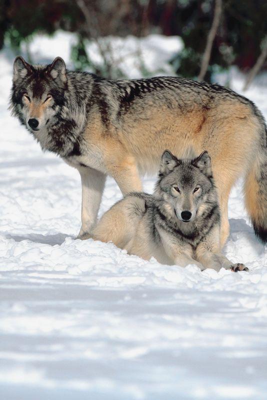 Vukovi - Page 3 Wolves