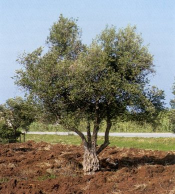 شجرتك من تاريخ ميلادك ....... Olive-tree