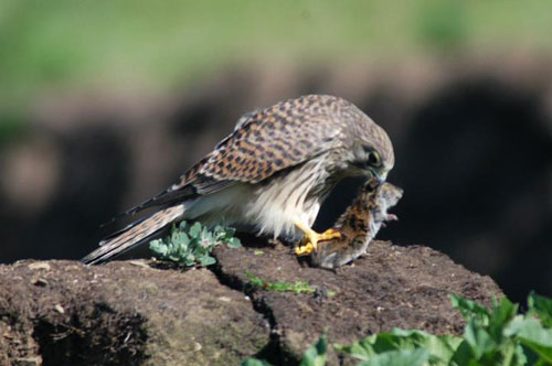 Falconiformes. sub Falconidae - sub fam Falconinae - gênero Falco - Página 3 Common-kestral