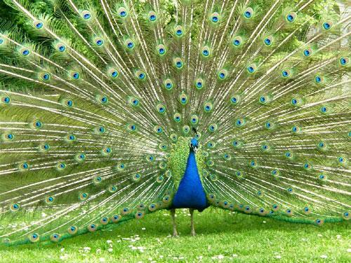 طيور وحيوانات بريه Peacock-baby