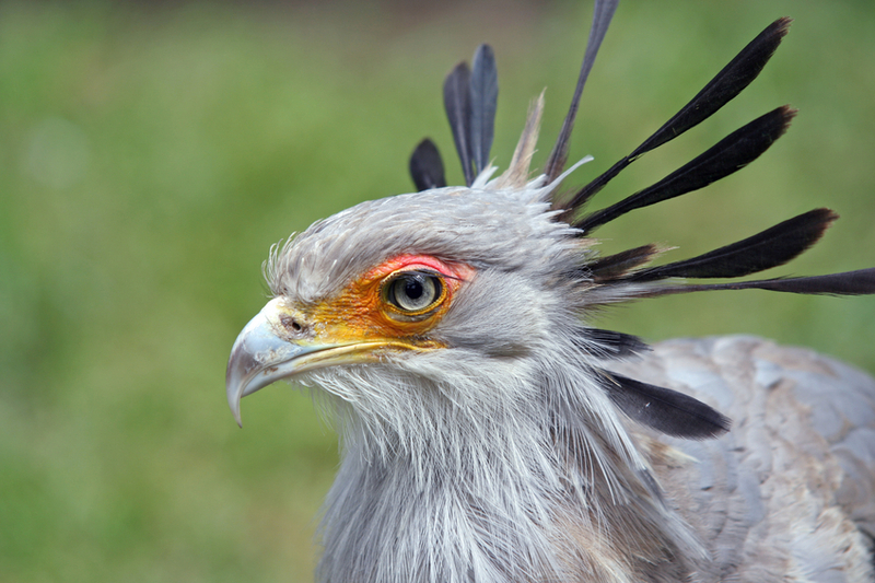 Falconiformes. Fam .Sagittaridae. espécie Sagittarius serpentarius.  Secretário 6a00d83518237553ef00e54f6dd6bd8834-800wi