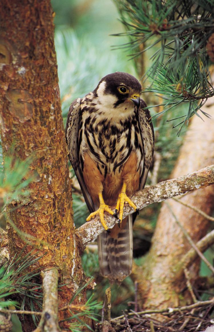 Falconiformes. sub Falconidae - sub fam Falconinae - gênero Falco - Página 3 Boomvalk_Falco-subbuteo