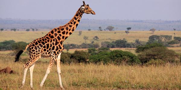 c'est en postant n'importe quoi... Girafe