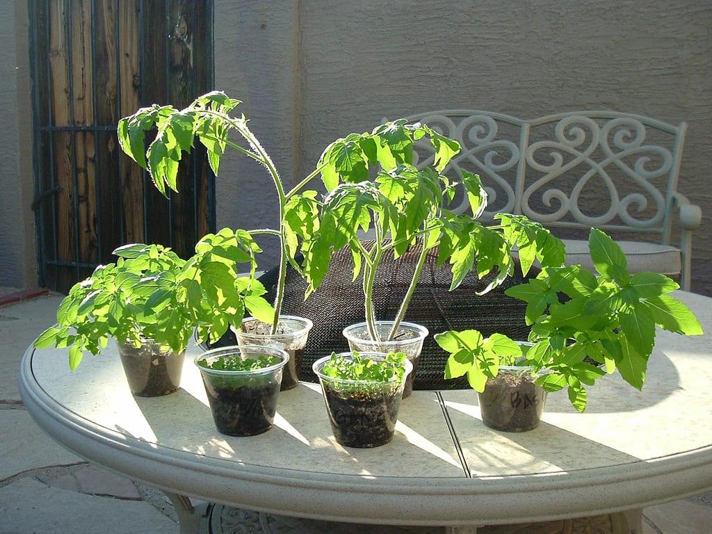 ¿Cómo cultivar frutas y hortalizas en macetas? 12434cultivar_frutas_y_hortalizas_en_macetas