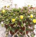 Quelques conseils pour débutantes: ( jardinage ) 168_pourpier_a_grandes_fleurs_portulaca_grandiflora-1