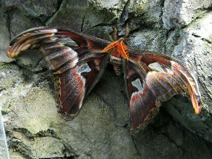 que suis -je ? ajonc 15 février Bravo Martine  - Page 2 Attacus-atlas---papillon-cobra-2012