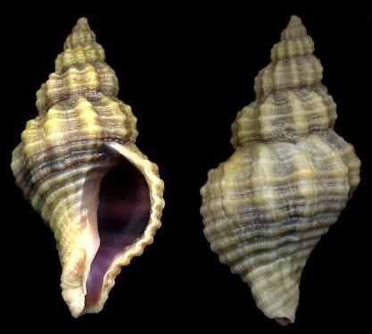 Gastéropode texan à identifier 509j