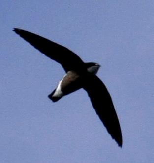 ماذا تعرف عن طيور اﻷبابيل White-throated_Needletail_09a
