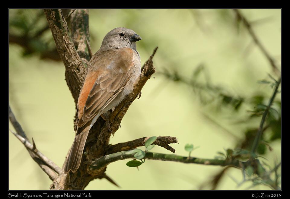 Pardais do mundo Swahili_sparrow_5683a