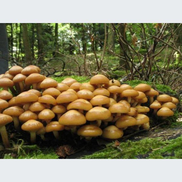 [Jeu] Association d'images - Page 18 Sortie-speciale-champignons-dans-la-foret-des-troi-42727-600-600-F
