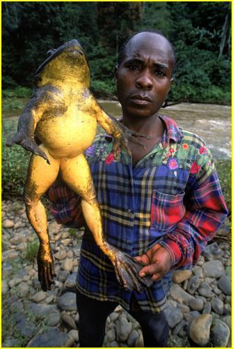 Les grenouilles à l'état sauvage. Grenouille-taureau