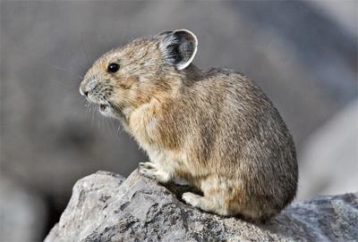 l'animal du petit loulou - 31 octobre trouvé par ginto et martin - Page 2 Pika