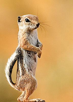 l'animal du petit loulou - 31 octobre trouvé par ginto et martin - Page 2 White_Tailed_Squirrel