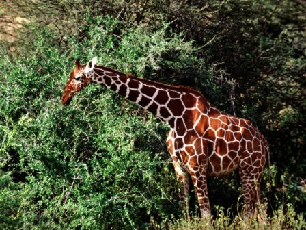 Animales en su hábitat. Animals-Giraffes_Reticulated-Giraffe