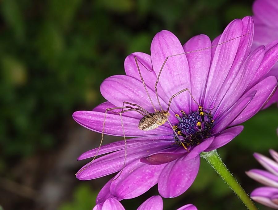 Curieux insectes de chez nous Opilion